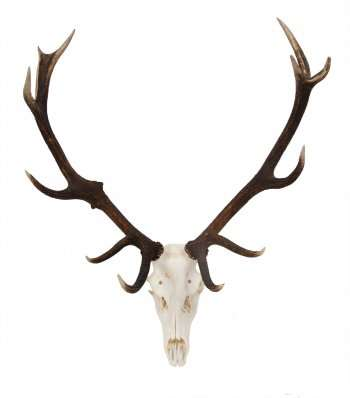 Red Stag Trophy Skull
